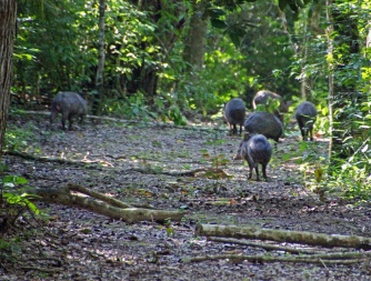 Peccary party
