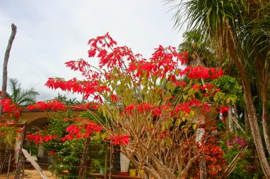 This is a poinsettia, taller than the adjacent house.